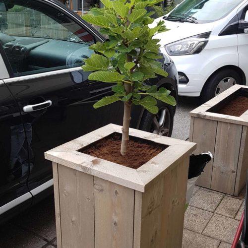 Plantenbak Vijgenboom